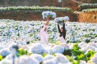 Cánh đồng hoa đang HOT nhất tại Đà Lạt