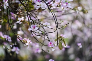 Hà Nội rợp trời hoa ban tím vào tháng 3
